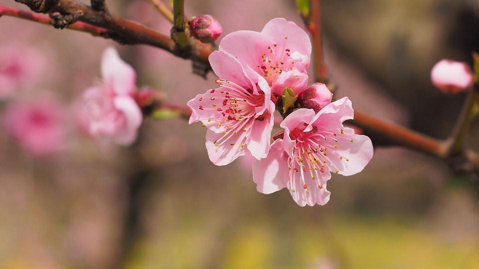 Feng Shui Cherry Blossom