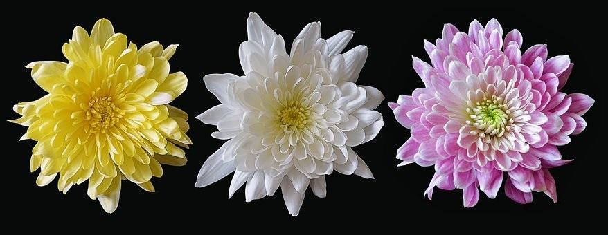 Feng Shui Chrysanthemum