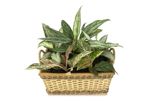 Feng Shui Aglaonema plant