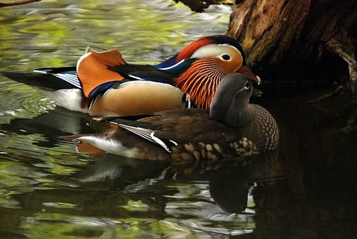 Feng Shui mandarin duck