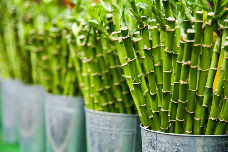 Feng Shui Lucky Bamboo Arrangements