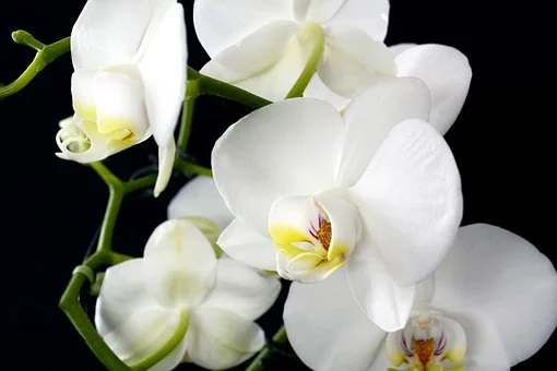 Feng Shui Orchids