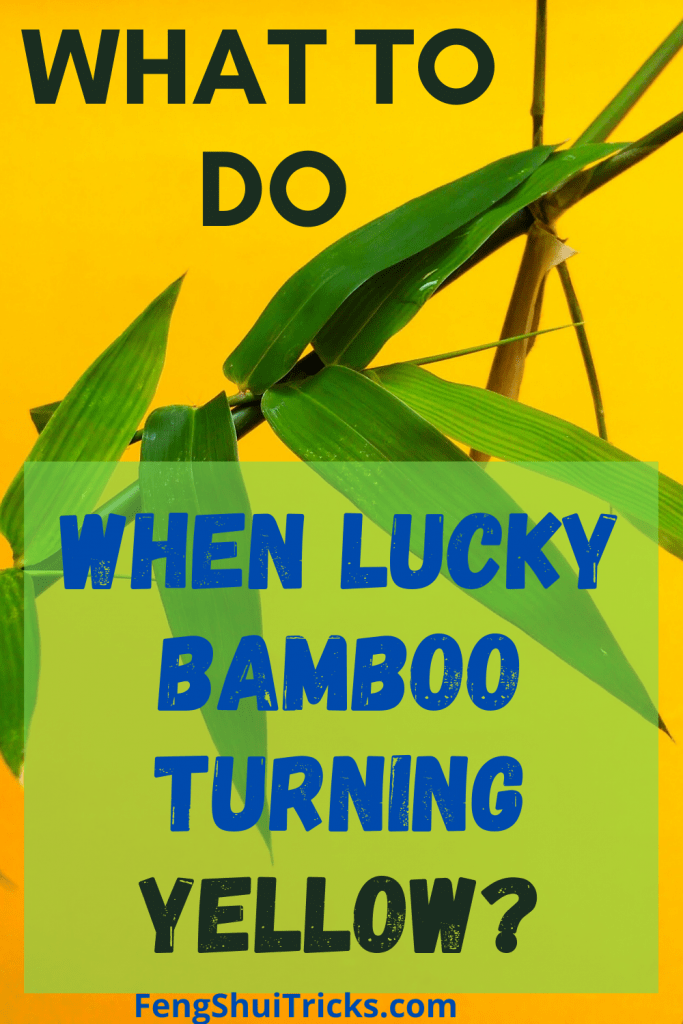 Revive lucky bamboo