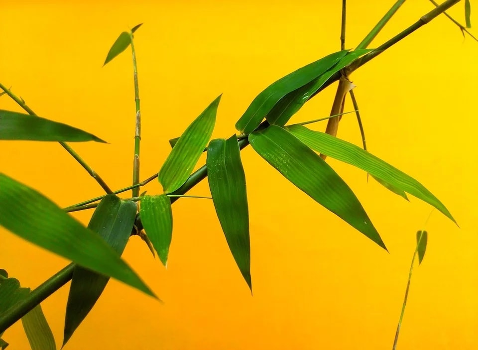 Bamboo Plant Turning Yellow