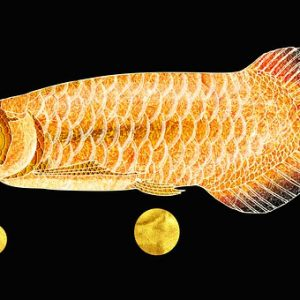 Arowana Fish (8 Exclusive Tips) On How To Care
