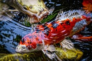 What is Koi Fish and Its Benefit + How To Care