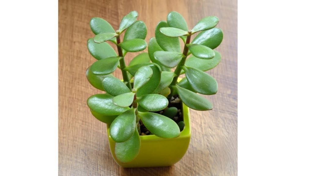 Feng Shui Jade Plant meaning and placement