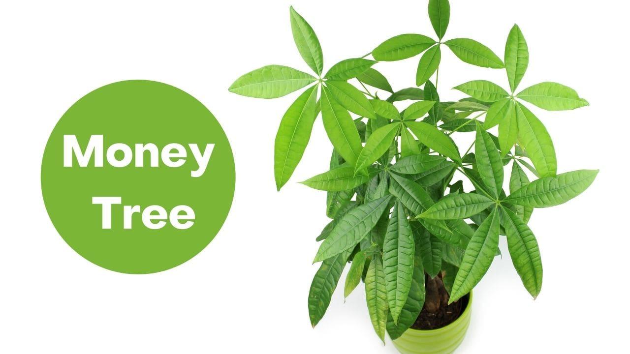 Money Tree Maintenance and care