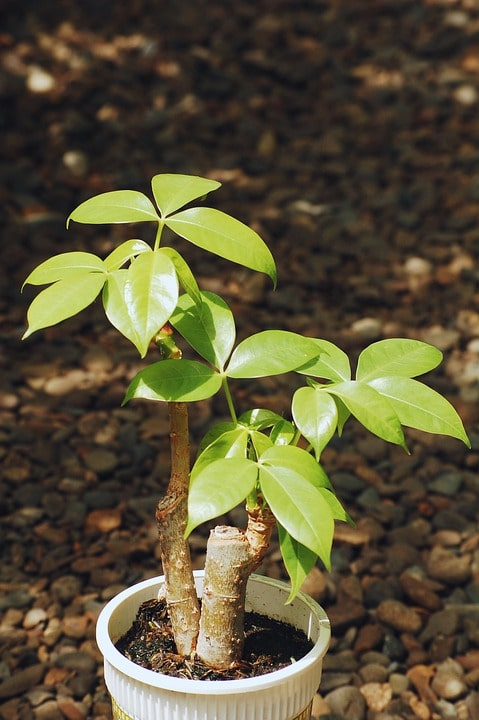 Various Money Tree Plant Problems And Fixes